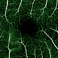 Fluorescein angiography combined with adaptive optics reveals the intricate branches of blood vessels surrounding the central part of the retina. Republished from Pinhas et al., Biomedical Optics Express.