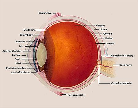 illustration of eye anatomy