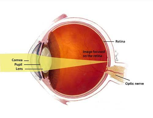 light passes through the cornea, pupil, and lens to the back of the eye. the image is focused on the retina which is located near the optic nerve