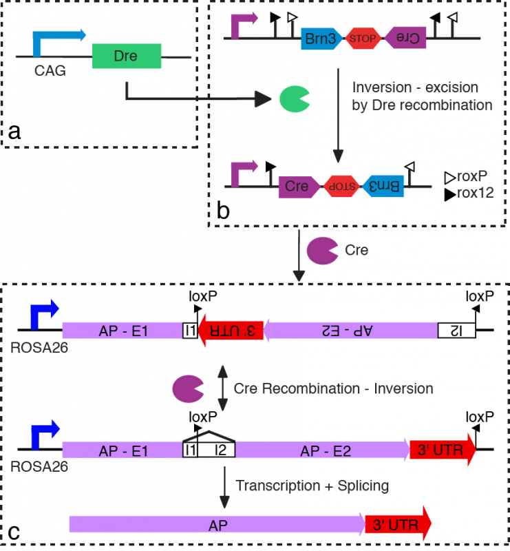 Gene diagram for Dre recombinase, Cre recombinase, and Cre activity