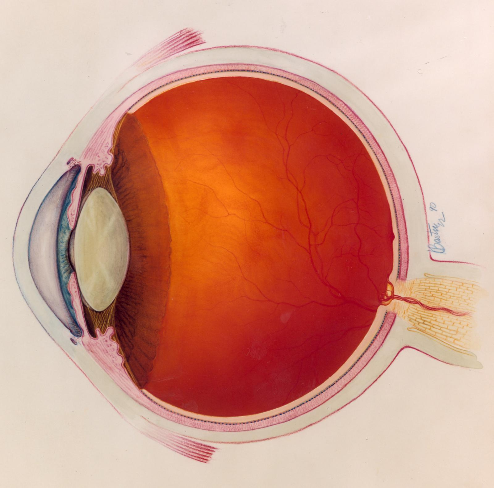 side diagram of a human eye in color