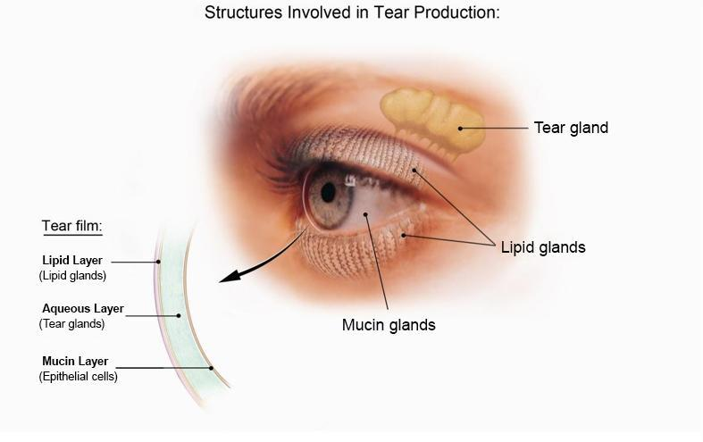 Diagram of the structures involved in tear production including the tear gland, lipid glands, and mucin glands.