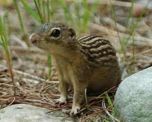 A ground squirrel stands at attention and looks off into the distance