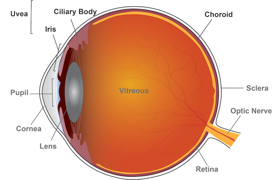 Schematic showing areas of eye affected by uveitis