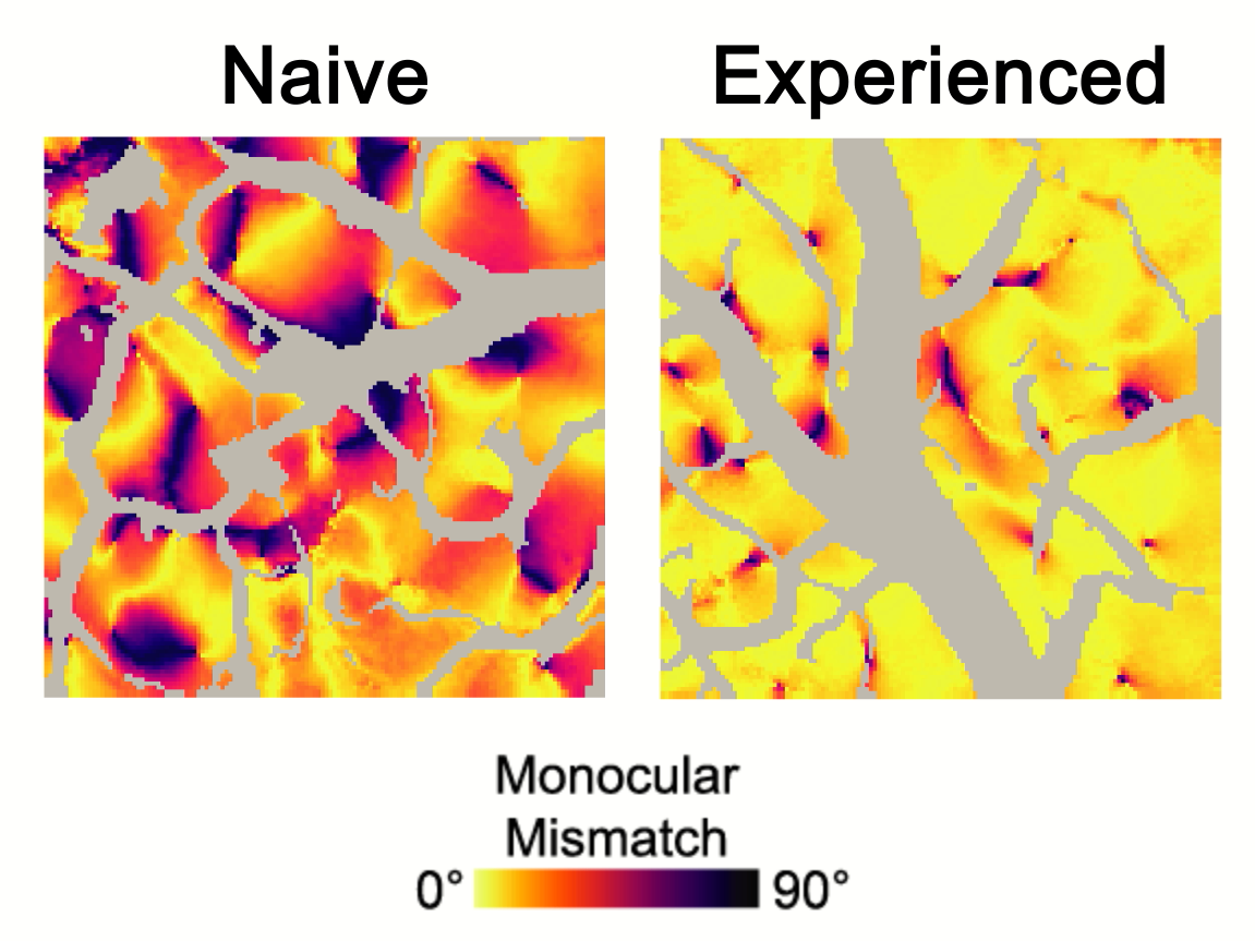 Side-by-side images showing how vision experience reduces monocular mismatch