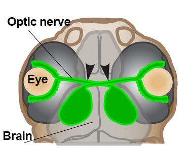 Illustration of zebrafish brain, retina, and optic nerve