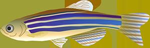 Illustration of zebrafish