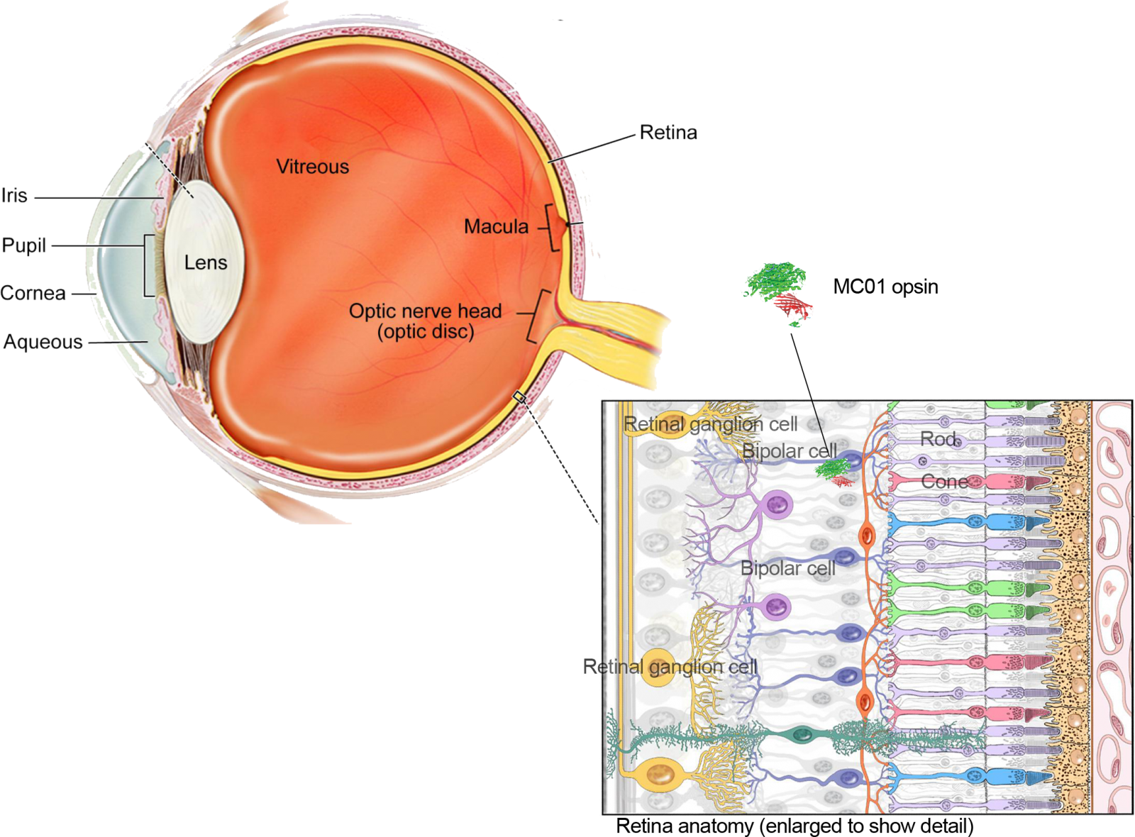 Diagram of retina showing neuronal layers and location of MCO1 opsin on bipolar cell.