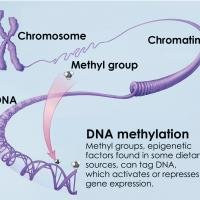 Chromosome, chromatin, DNA, methyl group. DNA methylation: Methyl groups, epigenetic factors found in some dietary sources, can tag DNA, which activates or represses gene expression.
