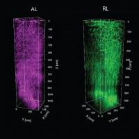 A distinct thicket of vessels and myelin fibers are evident in each of six color coded visual processing regions in the cortex of a mouse. The columns are formed by stacking images taken at 5-micron increments through a millimeter of depth in each of the regions. Credit: Sur Lab/MIT Picower Institute