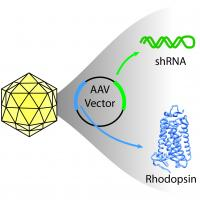 Illustration of icosahedral virus capsid, containing circular AAV vector. Arrows point from green and blue colored regions of the vector to shRNA and rhodopsin protein, respectively.
