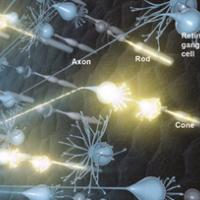 Artist's rendering of neural activity in the retina. Light that enters the eye activates rod and cone photoreceptors, which in turn activate retinal ganglion cells. Signals travel to the brain via retinal ganglion cell axons. Photo credit: National Eye Institute.