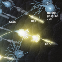 Artist's rendering of neural activity in the retina. Light that enters the eye activates rod and cone photoreceptors, which then activates retinal ganglion cells. A signal travels to the brain via the retinal ganglion cell axons. Photo credit: National Eye Institute